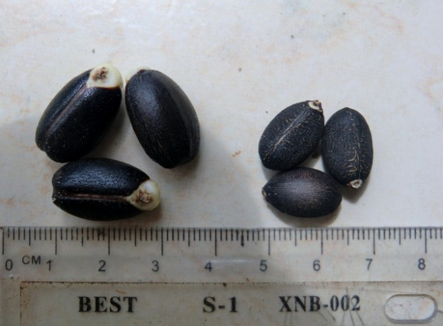 Heterosis effect showing in seed size