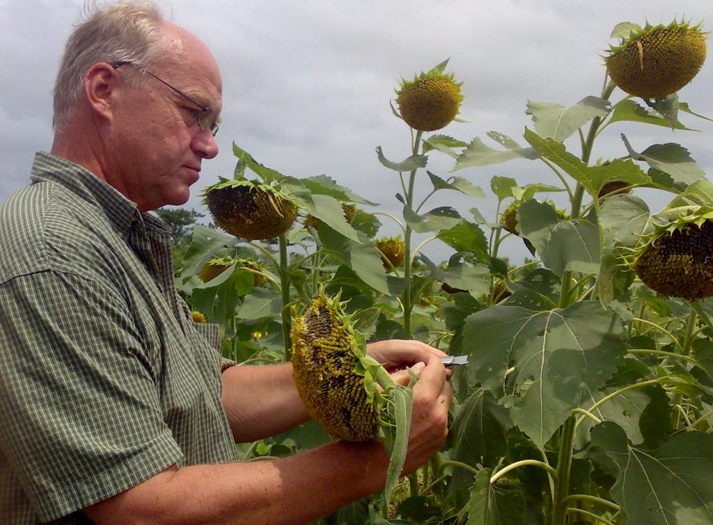 Checking Sunflowers near Sogakope, Ghana