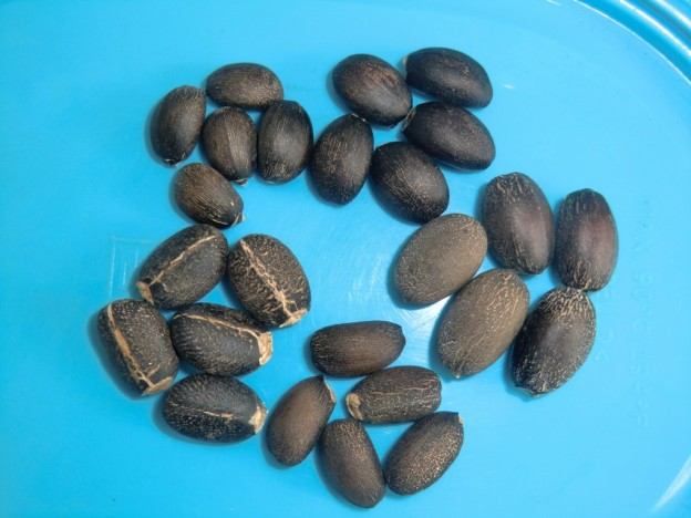 Jatropha seed comparison