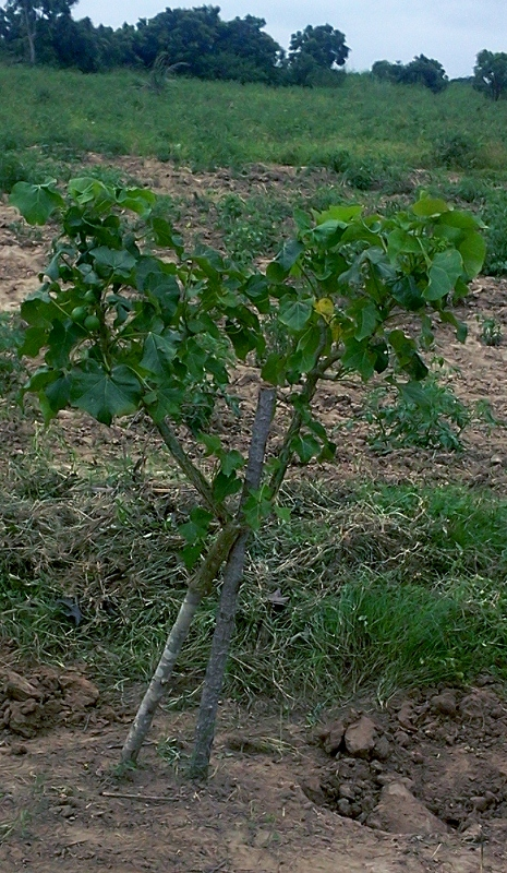 Jatropha curcas scion grafted on Jatropha gossypifolia rootstock