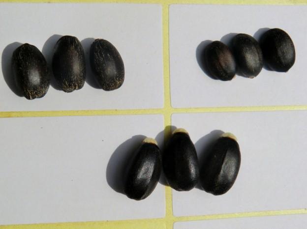 Heterosis seed comparison