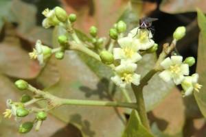 Interspecific BC1 Jatropha hybrid