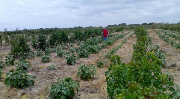 Jatropha hedges with Aubergines